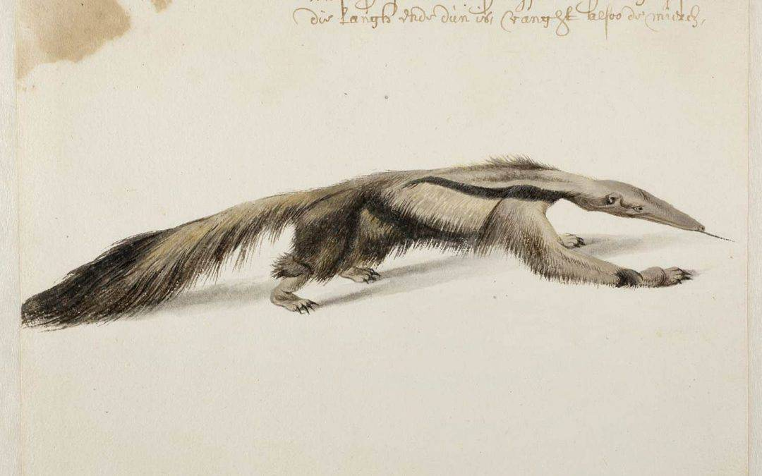 Spectacular discovery of animal drawings by Frans Post