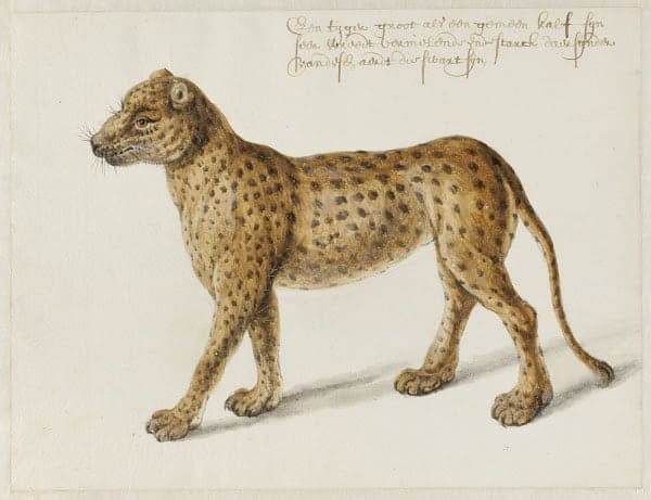 Jaguar painting by Frans Post