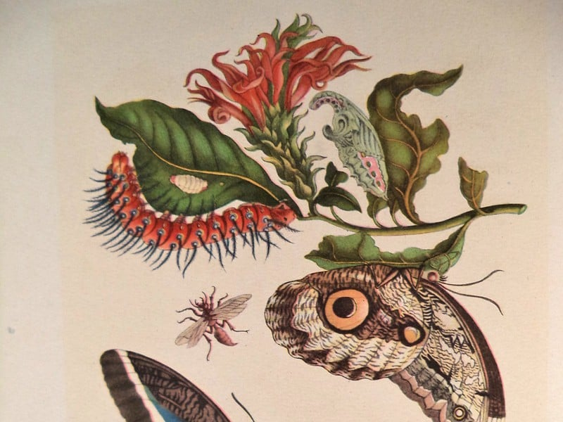 A Curious Performance: Maria Sibylla Merian and the Art of Natural History